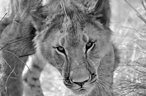 Lion Conservation - Female