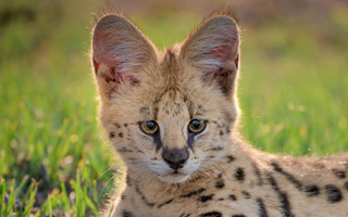 African Serval - Face